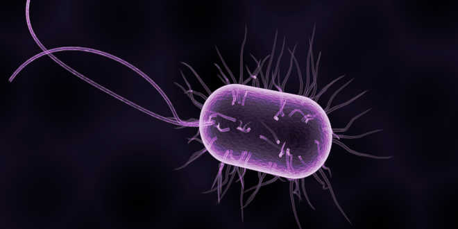 Bacteria from the intestinal flora